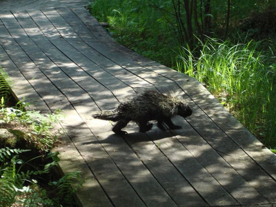Porcupine crossing the boardwalk